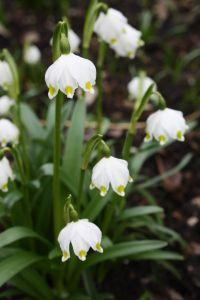 upload/posts/thumbs/1154727_nice_snowdrops_2