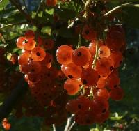 upload/posts/thumbs/1415038_currant.jpg